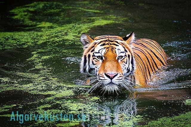 tiger på zoo